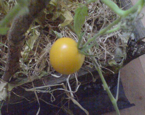 Свіженькі томати до новорічного столу
